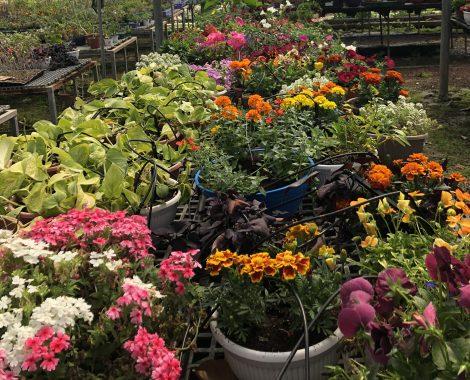 colorful flowers Kfar Idud